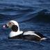 Male, non-breeding (winter) plumage.